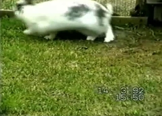 Small rabbit is trying to fuck the bigger one